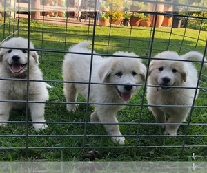 Great Pyrenees Puppy for sale in FREESTONE, CA, USA