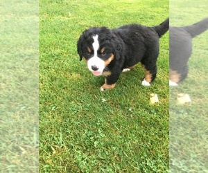 Bernese Mountain Dog Puppy for sale in CLARION, PA, USA