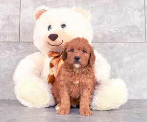 Goldendoodle Puppy for sale in CLEVELAND, NC, USA