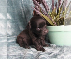 Doodle Puppy for sale in LE MARS, IA, USA