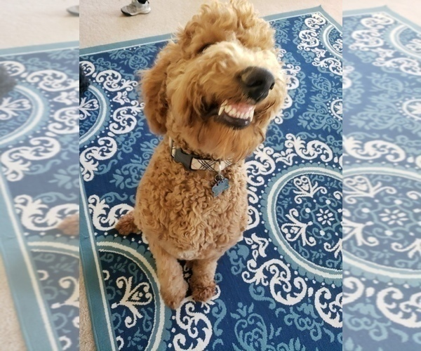 Medium Photo #17 Poodle (Standard) Puppy For Sale in DYERSBURG, TN, USA