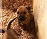 Puppy 7 Staffordshire Bull Terrier