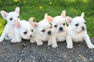 French Bulldog Puppy For Sale in MARYSVILLE, WA