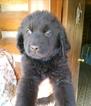 Newfoundland Puppy For Sale in SAN DIEGO, CA,
