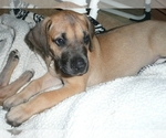 Small #10 Great Dane