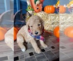Puppy 9 Poodle (Standard)