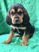 Bloodhound Puppy For Sale in JURUPA VALLEY, CA, USA