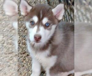 Siberian Husky Puppy for Sale in TUCSON, Arizona USA