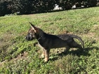 Small #5 German Shepherd Dog