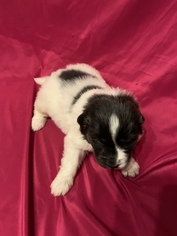 Newfoundland Puppy For Sale in FRONT ROYAL, VA, USA