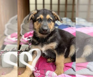 German Shepherd Dog Puppy for sale in DUNN, NC, USA