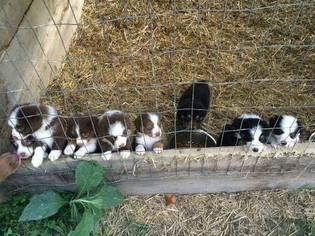 Australian Shepherd Puppy for sale in CAMPTON, KY, USA