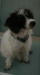 Small #2 Jack Russell Terrier-Poodle (Standard) Mix