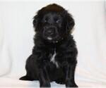 Puppy 5 Golden Newfie
