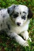 Border Collie Puppy For Sale in BERWICK, PA, USA