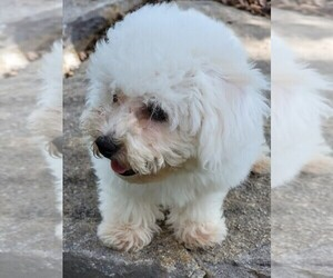 Bichpoo Puppy for Sale in HOPKINSVILLE, Kentucky USA