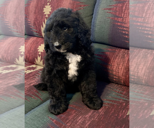 Bernedoodle Puppy for Sale in REBERSBURG, Pennsylvania USA
