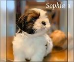 Beautiful tricolor CKC Maltese Shih Tzu puppy
