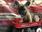 French Bulldog Puppy For Sale in KERSEY, CO,