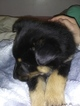 Collie-German Shepherd Dog Mix Puppy For Sale in FOX LAKE, IL, USA
