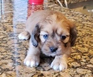 Schweenie Puppy for sale in CONROE, TX, USA