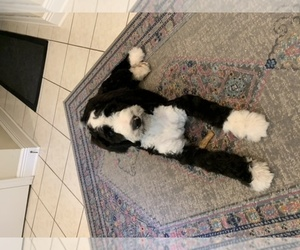 Bernedoodle Puppy for sale in COVINGTON, LA, USA