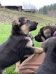 German Shepherd Dog Puppy For Sale in MYRTLE CREEK, OR, USA