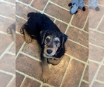 Airedale Terrier Puppy For Sale in TIMMONSVILLE, SC, USA