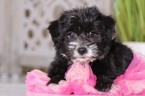 Morkie-Yo-Chon Mix Puppy For Sale in MOUNT VERNON, OH, USA