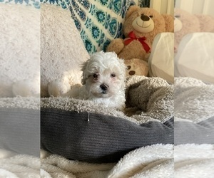 Shih-Poo-Zuchon Mix Puppy for Sale in GALENA, Nevada USA