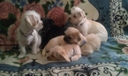 White Cream Havanese Chihuahua 5 month Puppies
