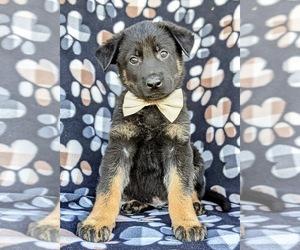German Shepherd Dog Dog for Adoption in OXFORD, Pennsylvania USA