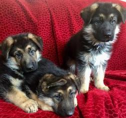 German Shepherd Dog Puppy For Sale in GLENDALE, AZ
