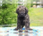Small #33 Goldendoodle