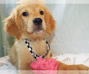Golden Retriever Puppy for Sale in PATERSON, New Jersey USA
