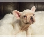 Small #12 French Bulldog