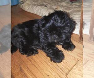 Shih Tzu Puppy for Sale in HOLLY, Michigan USA