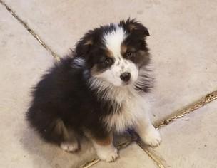 Australian Shepherd Puppy For Sale in HERRIMAN, UT, USA
