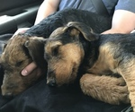 Small #1 Airedale Terrier