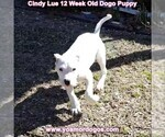 Small Photo #154 Dogo Argentino Puppy For Sale in PINEVILLE, MO, USA
