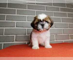 Shih Tzu Puppy for sale in NORTHWOODS, IL, USA