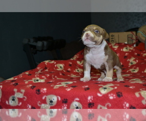 American Bully Puppy for sale in COUNTRY CLUB HILLS, MO, USA