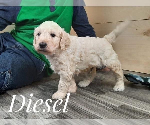 Medium Photo #2 Goldendoodle Puppy For Sale in CEDAR GAP, MO, USA