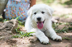 Akbash Dog-Great Pyrenees Mix Puppy For Sale in ADA, OK, USA