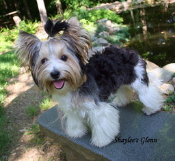 View Ad Biewer Terrier Puppy For Sale Near Indiana Greensburg Usa