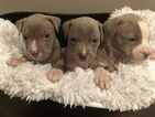 American Pit Bull Terrier Puppy For Sale in ALABASTER, AL,