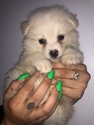 Pomeranian Puppy For Sale in ROYAL PALM BEACH, Florida,