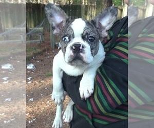 French Bulldog Dog for Adoption in ELIZ CITY, North Carolina USA