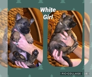 German Shepherd Dog Puppy for sale in RUDY, AR, USA
