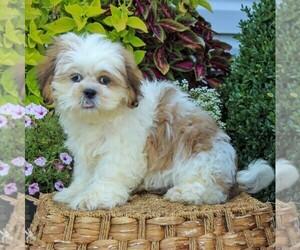 Shih Tzu Puppy for sale in GORDONVILLE, PA, USA